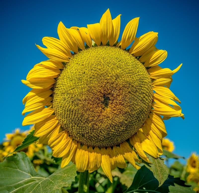 Grote enige ronde gele zonnebloem royalty-vrije stock afbeelding