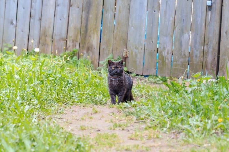 Grote ernstige zwarte kat in een kraag royalty-vrije stock afbeelding