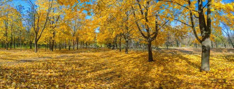 Grote esdoornstegen in de herfst stock afbeeldingen