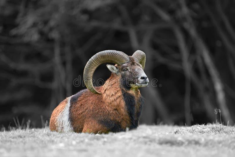 Grote Europese moufflon in de weide royalty-vrije stock fotografie