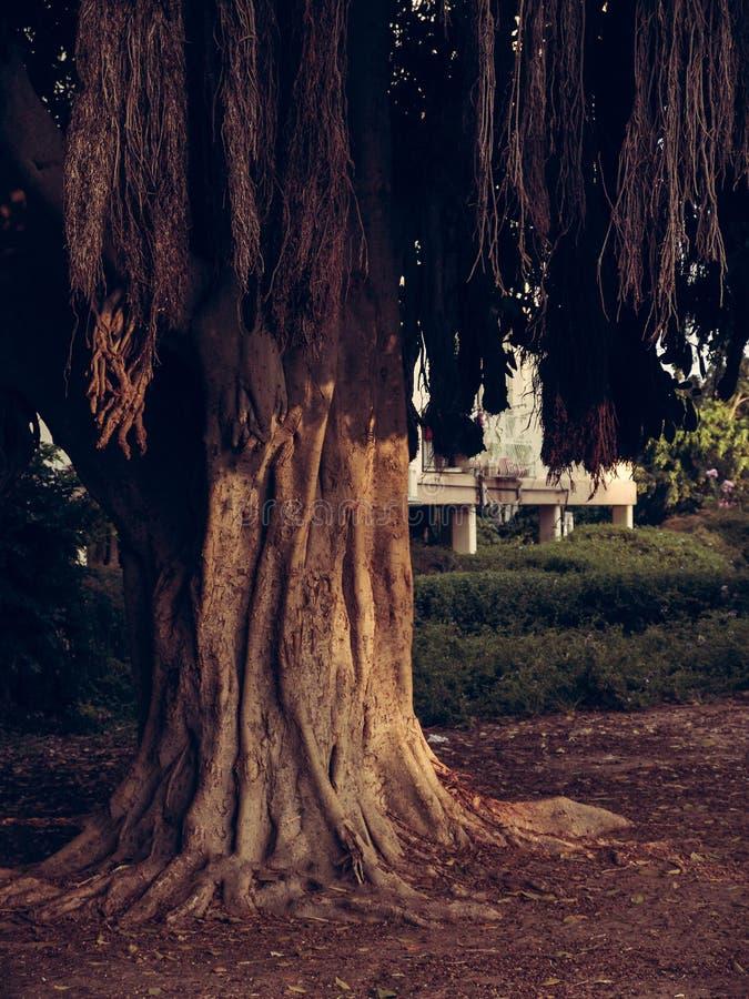 Grote exotische boom met dalende bruine takken en grote wortels over het land in een stadspark met een woningbouw in stock foto