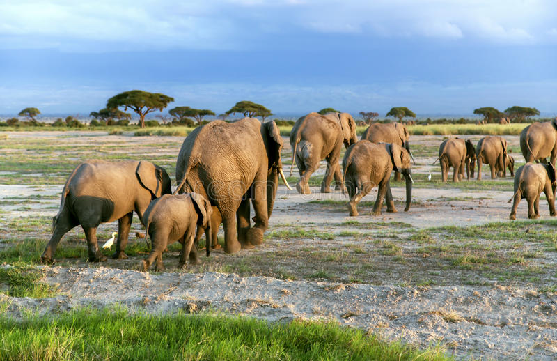 Grote familie van Afrikaanse struikolifant (Loxodonta-africana) royalty-vrije stock fotografie