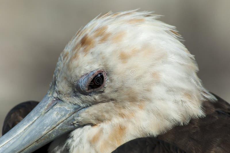 Grote Frigatebird, Grote Fregatvogel, Fregata-minderjarige royalty-vrije stock foto's