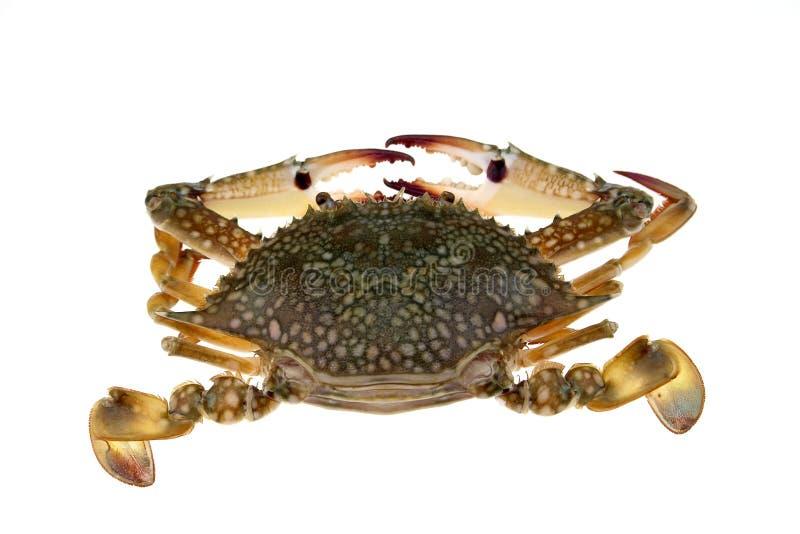 Grote geïsoleerde krab royalty-vrije stock foto