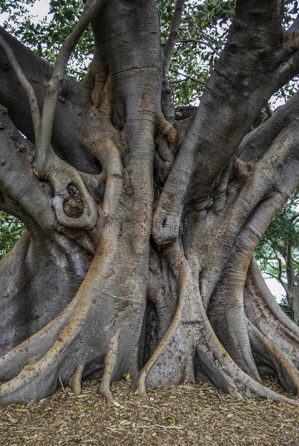 Grote gebogen boomstam van Australische banyan die boom, ook als ficusmacrophylla wordt bekend stock afbeelding