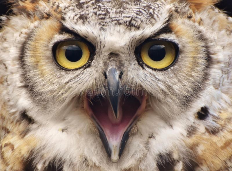Grote Gehoornde Owl Bubo-virginianus stock afbeeldingen