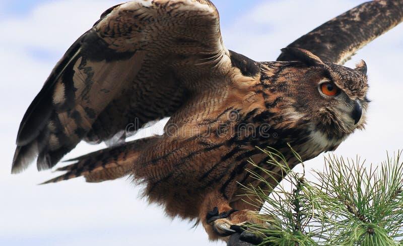 Grote Gehoornde Uil