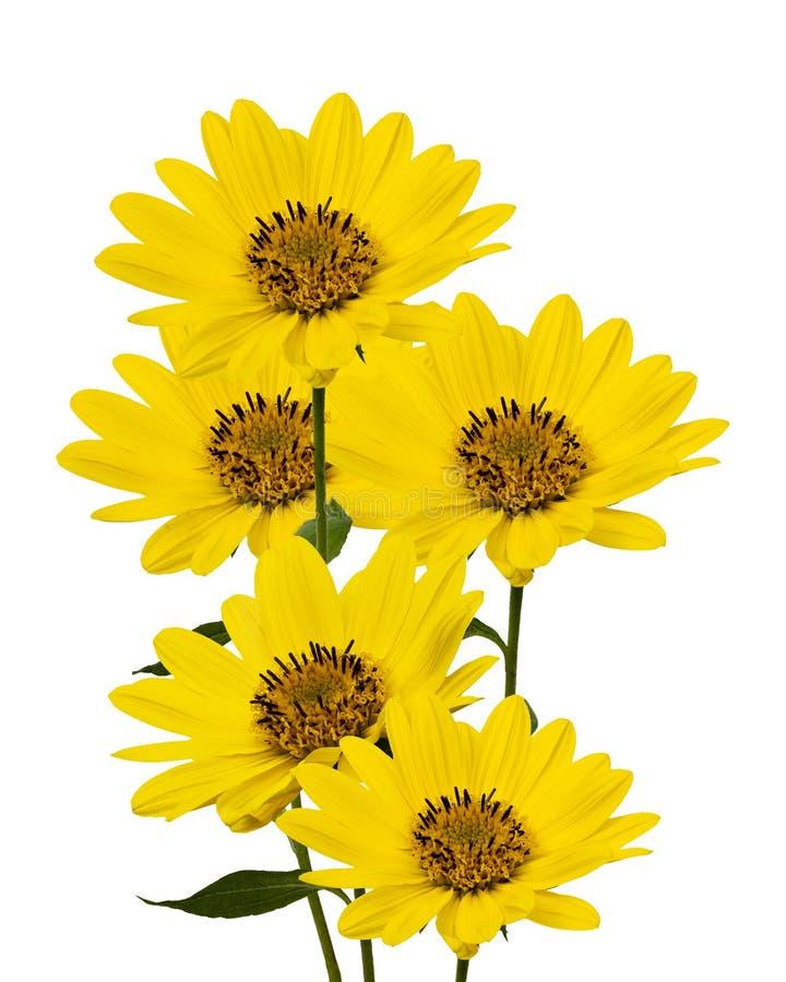 Grote gele Madeliefjes royalty-vrije stock afbeelding
