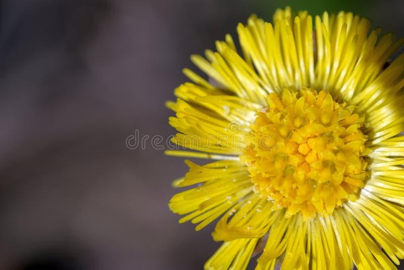 Grote gele paardebloembloem Het witte stuifmeel ligt op zijn bloemblaadjes De macro van de hoge resolutieclose-up stock afbeeldingen