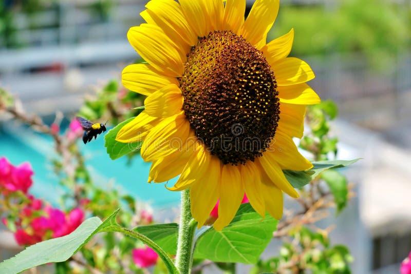 Grote gele zonnebloem met een hommel die dichtbij het vliegen stock foto