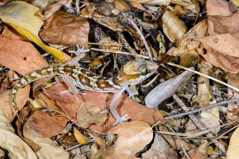 Grote geleide kirindy gekko, stock fotografie
