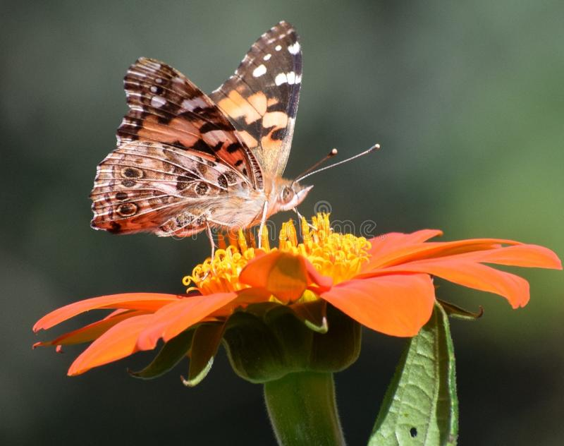 Grote gepantserde vlinder op Mexicaanse zonnebloem stock fotografie