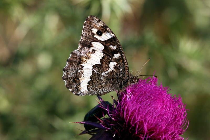 Grote Gestreepte Grayling-vlinder royalty-vrije stock foto