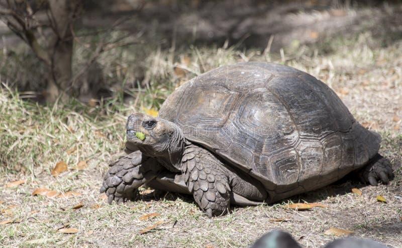 Grote gevangen schildpadschildpad in een dierentuin royalty-vrije stock foto