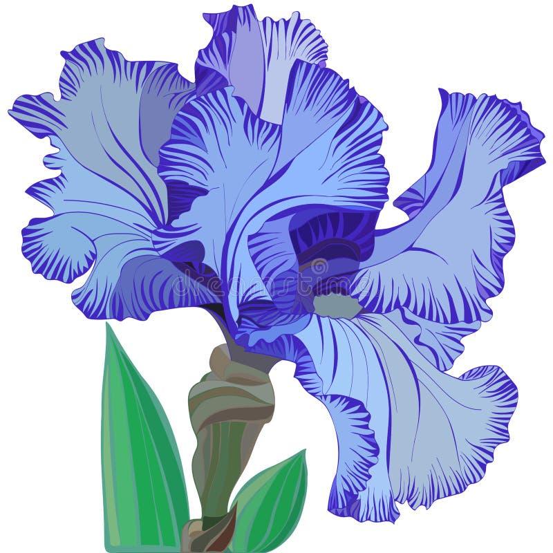 Grote gevoelige blauwe irisbloem met bladeren op witte achtergrond vector illustratie