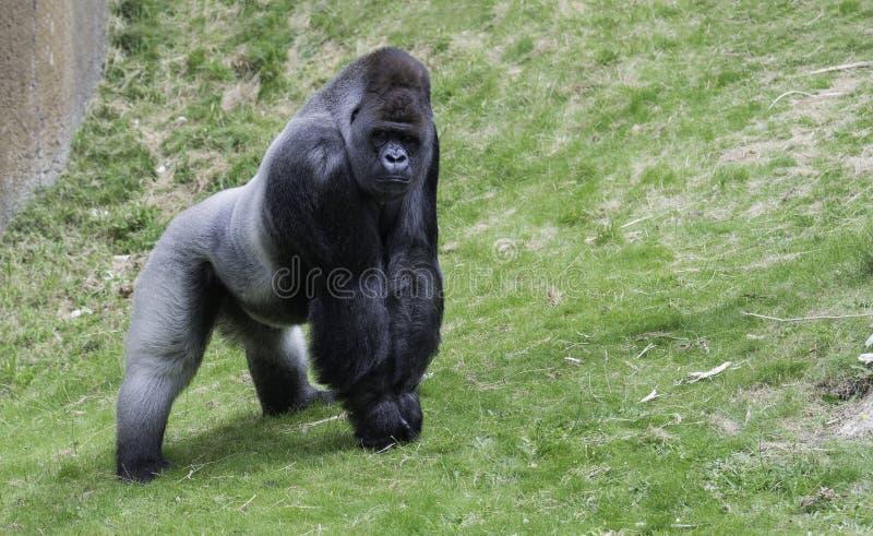 Grote gorilla die zijn macht tonen stock afbeeldingen