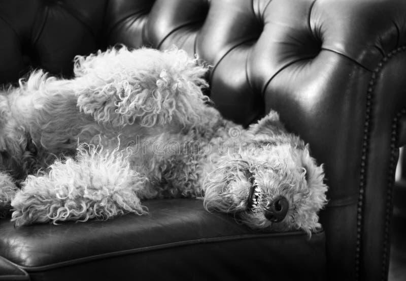 Grote grappige Airedale-hondslaap op de laag van luxechesterfield royalty-vrije stock foto's