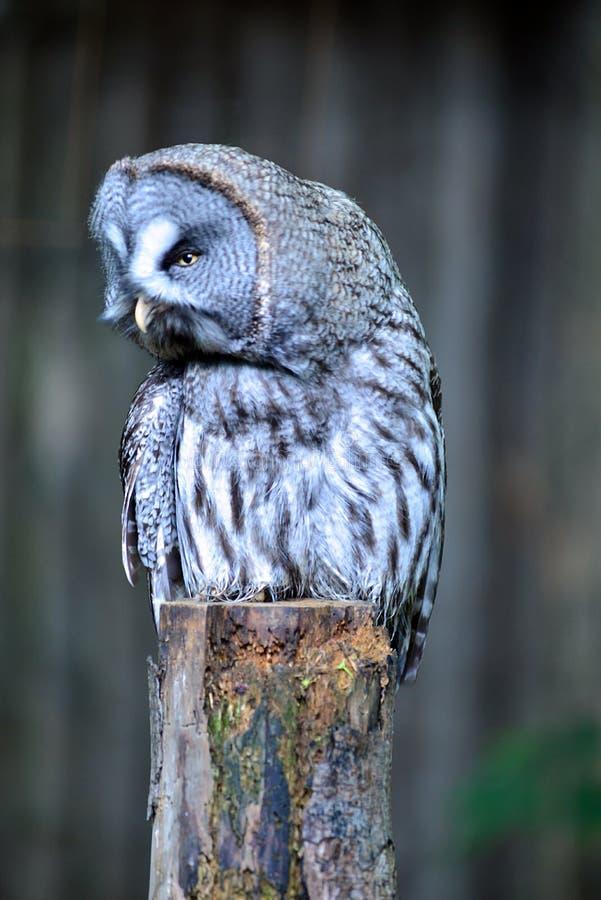 Grote Gray Owl-zitting op een omheiningspost die met hoofd aan de linkerzijde draaien royalty-vrije stock foto's