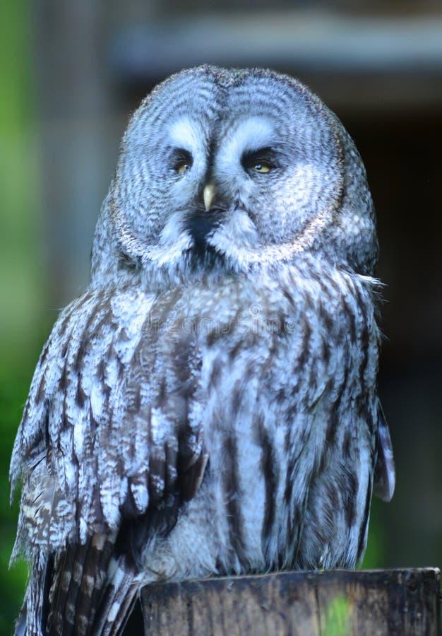 Grote Gray Owl-zitting op een omheiningspost die met hoofd aan het recht draaien stock fotografie