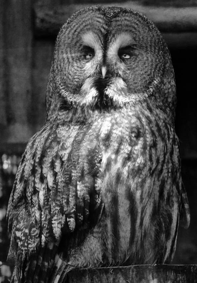 Grote Gray Owl-zitting op een omheiningspost die met hoofd aan het recht draaien royalty-vrije stock foto
