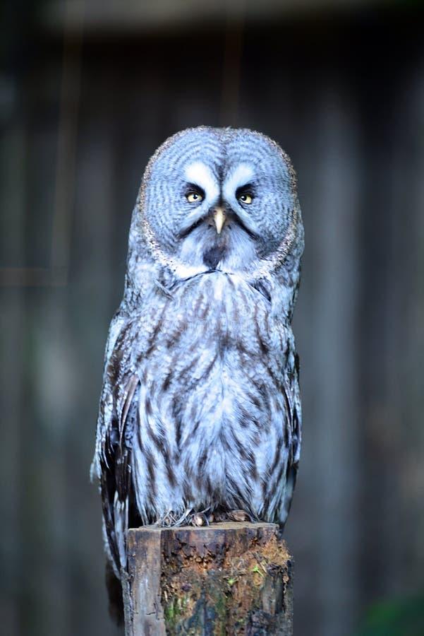 Grote Gray Owl-zitting op een omheiningspost die vooruit onder ogen zien royalty-vrije stock foto's