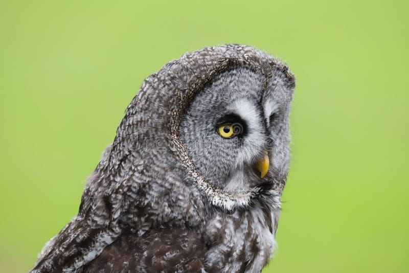 Grote Grey Owl Strix-nebulosaroofvogel royalty-vrije stock fotografie