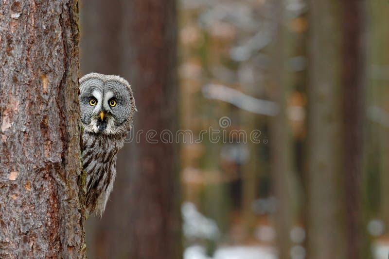 Grote grijze die uil, Strix-nebulosa, van boomboomstam wordt verborgen in het de winterbos, portret met gele ogen royalty-vrije stock foto's