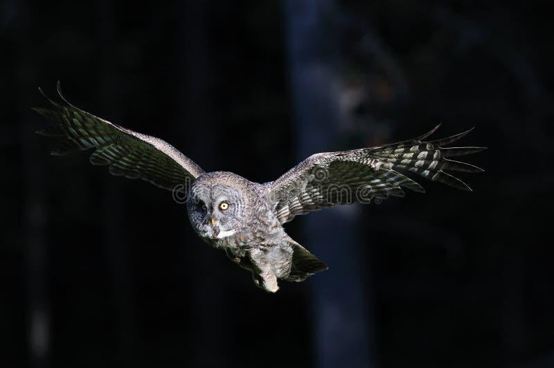 Grote Grijze in-flight Uil royalty-vrije stock foto