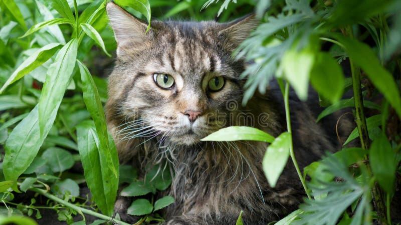 Grote grijze kattenzitting in de tuinstruik Maine Coon stock afbeeldingen