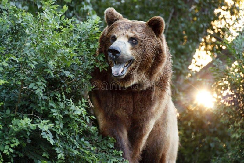 Grote Grizzly Met Het Plaatsen Van Zon En Zware Foilage Stock Foto's