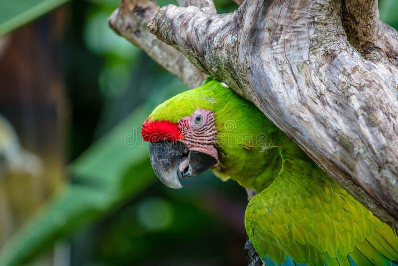 Grote groene ara op een boom royalty-vrije stock foto's
