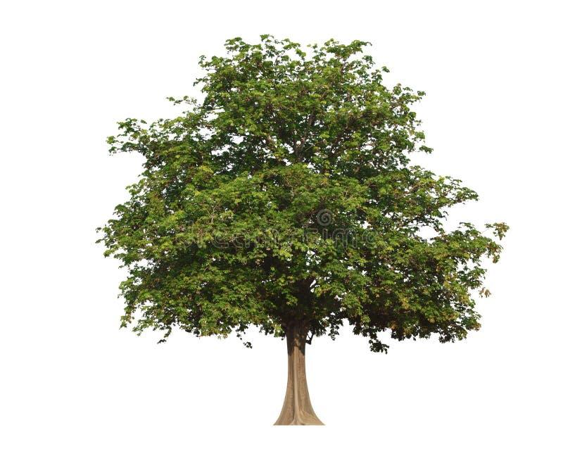 Grote groene die boom op wit wordt geïsoleerd royalty-vrije stock afbeelding