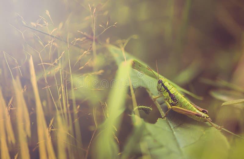 Grote groene sprinkhaanmacro afzetten Dichte mening royalty-vrije stock fotografie