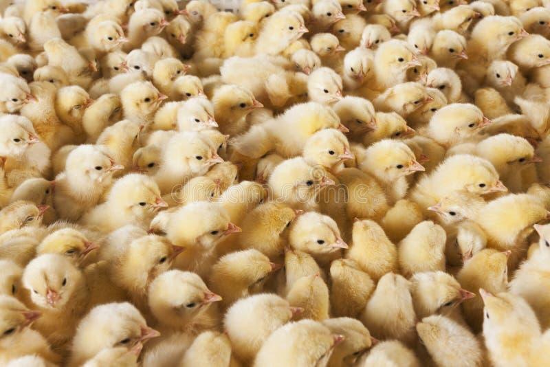 Grote groep babykuikens op kippenlandbouwbedrijf royalty-vrije stock afbeelding