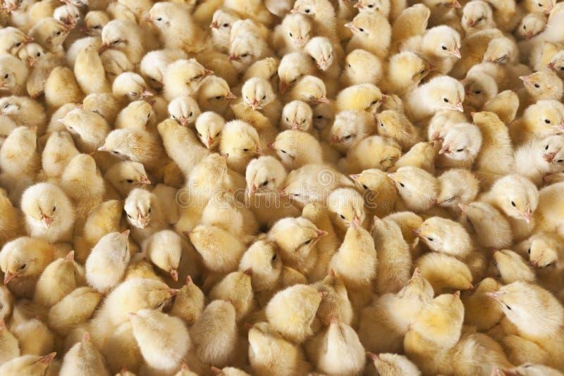 Grote groep babykuikens op kippenlandbouwbedrijf stock afbeeldingen
