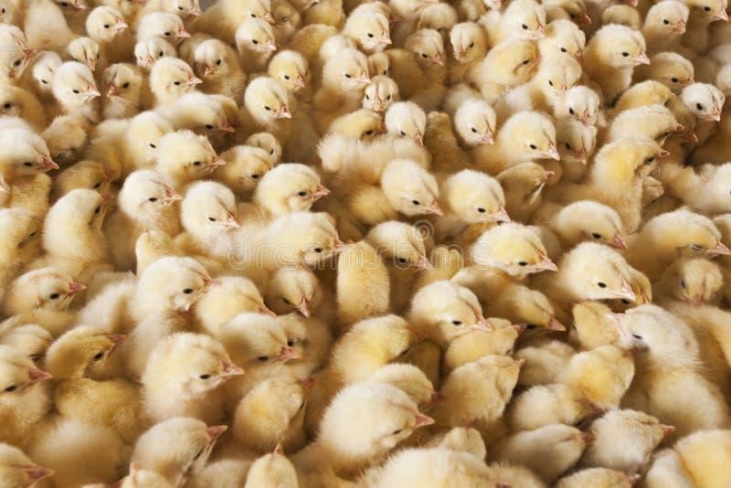Grote groep babykuikens op kippenlandbouwbedrijf stock foto