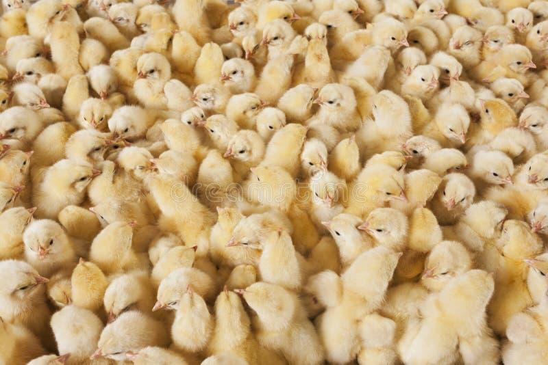 Grote groep babykuikens op kippenlandbouwbedrijf royalty-vrije stock foto's