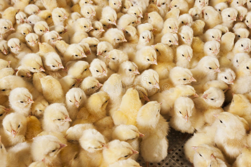 Grote groep babykuikens op kippenlandbouwbedrijf stock afbeelding