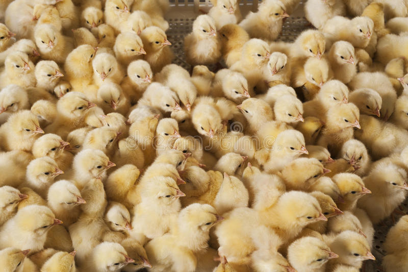Grote groep babykuikens op kippenlandbouwbedrijf royalty-vrije stock foto