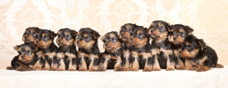 Grote groep de puppy van Yorkshire Terrier royalty-vrije stock afbeelding