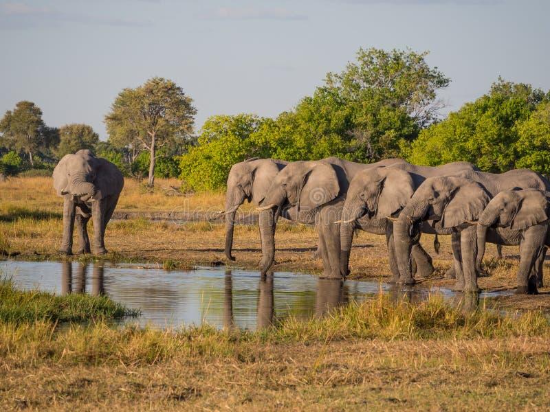 Grote groep die Afrikaanse olifanten in rij bij waterhole in gouden middaglicht drinken, Moremi NP, Botswana, Afrika royalty-vrije stock afbeeldingen
