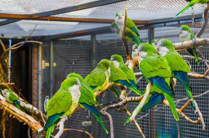 Grote groep die monniksparkieten samen op een tak in het vogelhuis, Populaire huisdieren in aviculture, tropische vogels van Arge stock afbeelding