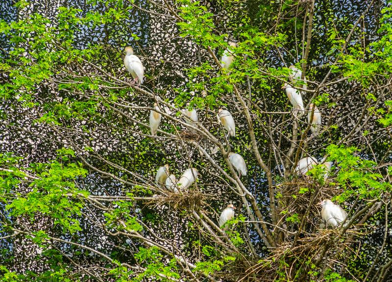 Grote groep die veeaigrettes met nesten in een boom, vogels in een boom, het seizoen van het vogelfokken in de lente nestelen stock fotografie