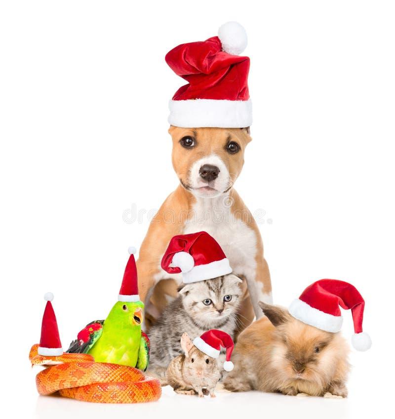 Grote groep huisdieren in rode Kerstmishoeden Op witte bac royalty-vrije stock fotografie