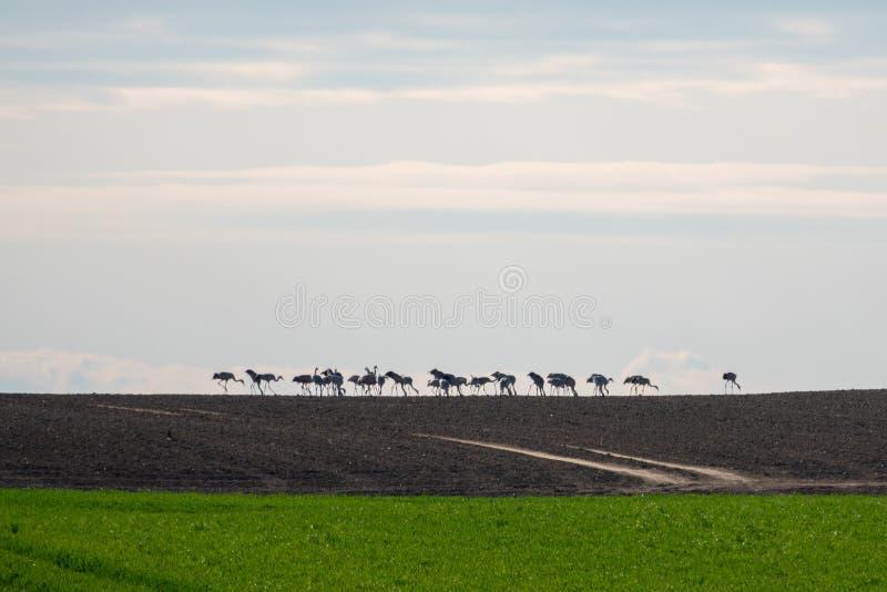 Grote groep kranen die zich op de horizon op een gebied bevinden stock foto's