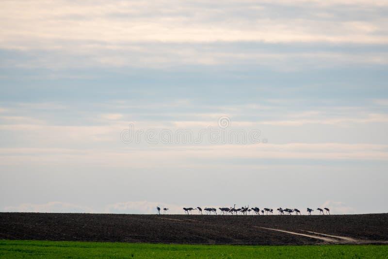Grote groep kranen die zich op de horizon op een gebied bevinden stock afbeeldingen