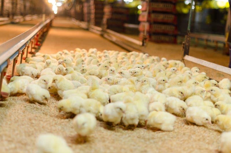 Grote groep onlangs uitgebroede kuikens op een kippenlandbouwbedrijf stock foto's