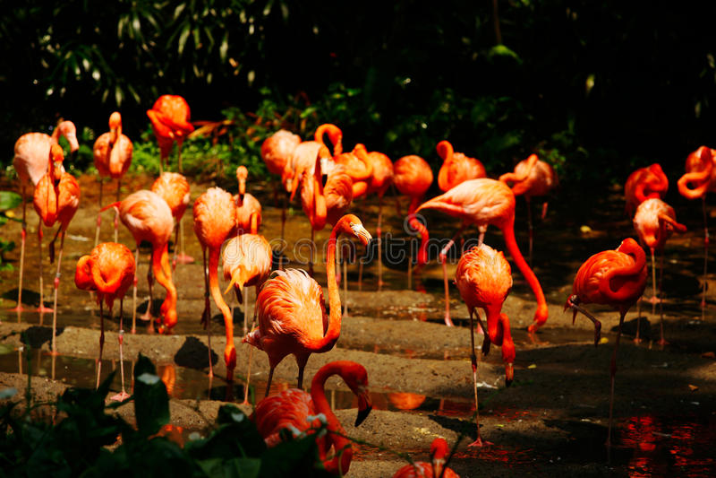 Grote groep roze flamengos drinkwater stock foto's