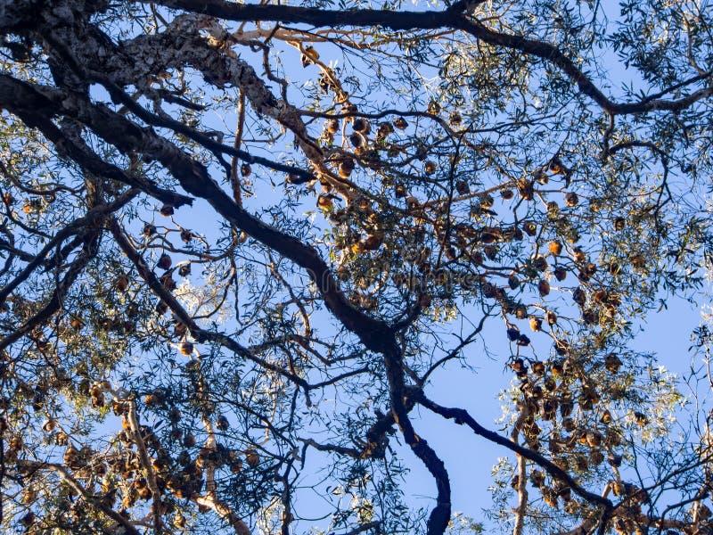 Grote groep van de fruitknuppel of vleerhond het hangen op de Gouden Kust Australië van de boomtak royalty-vrije stock afbeelding