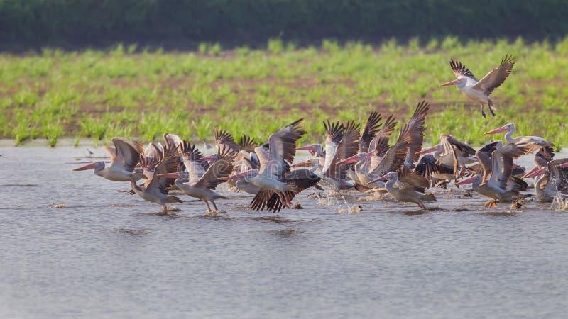 Grote groep vlek-Gefactureerde pelikaan royalty-vrije stock afbeeldingen